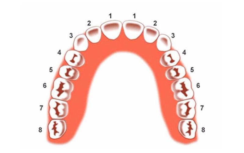 Răng số 4 đảm nhiệm chức năng ăn, nhai và nghiền thức ăn
