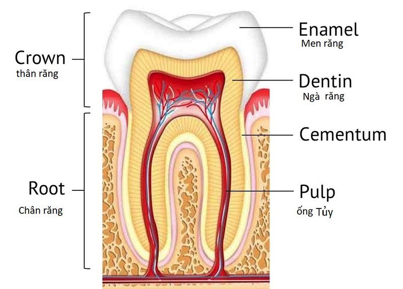 Răng được cấu tạo bởi 3 lớp chính là lớp men, lớp ngà và tủy
