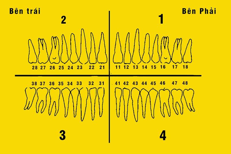 Tại mỗi phần hàm sẽ có 8 răng vĩnh viễn được đánh số từ 1 đến 8 tính theo đường giữa hàm